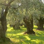 صورة لحقل من أشجار الزيتون